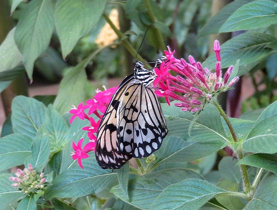 Flit Like a Butterfly / Revolotea Como unaMariposa